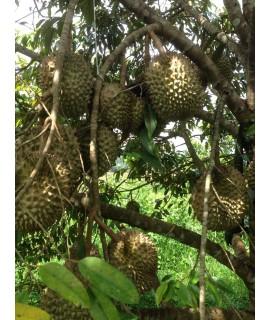 Durian (Mondulkiri)