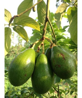 Avocado (Mondulkiri)